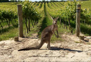 Pandemic Mode 2020 Harvest: Southern Hemisphere Wine Lessons